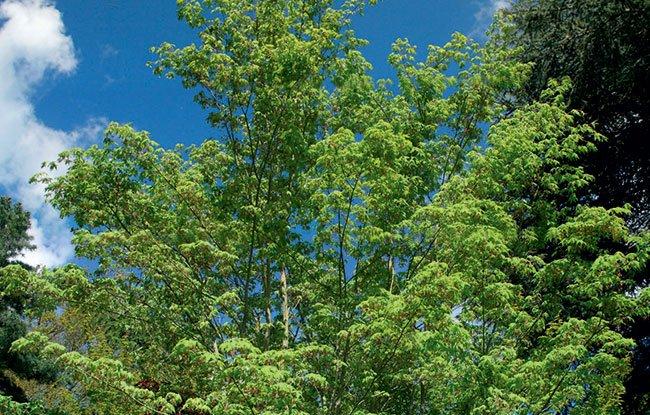 Acer pauciflorum article
